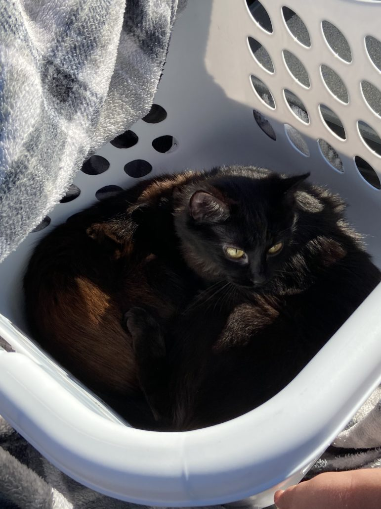 Kittens Midnight and Elaine sit in a laundry basket as they await transport to their foster home on June 29, 2020, in Baldwin Borough. (Photo by Rich Lord/PublicSource)