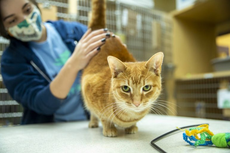 Volunteer coordinator Maddie Aicher petting a cat at Animal Friends Shelter in Pittsburgh. (Photo by Jay Manning/PublicSource)