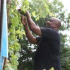 Carl Lewis, owner of Carl's Cafe in Rankin, touchs a leafy grape plant growing on the side of his store.
